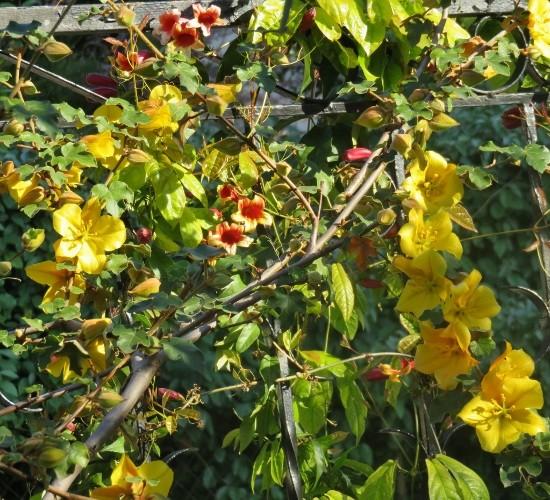 Bignonia capreolata Img_4710