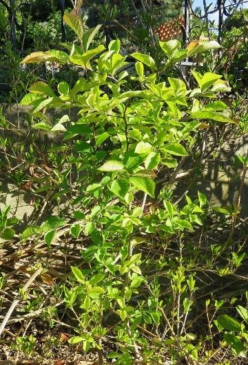 Photinia villosa ? [identification à suivre] Img_5025