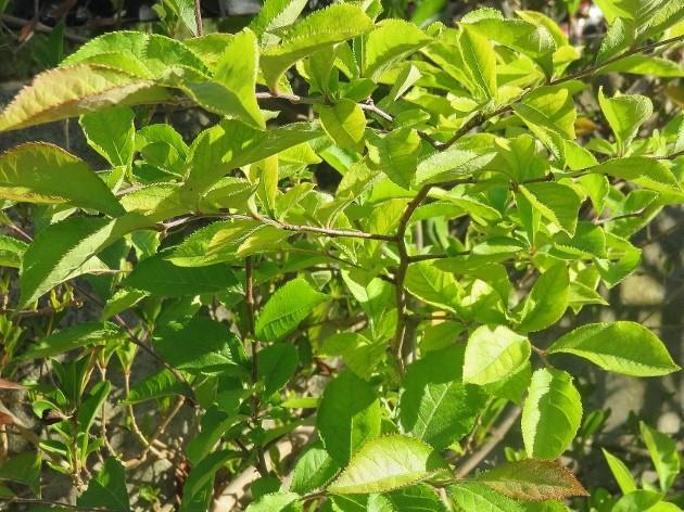Photinia villosa ? [identification à suivre] Img_5026