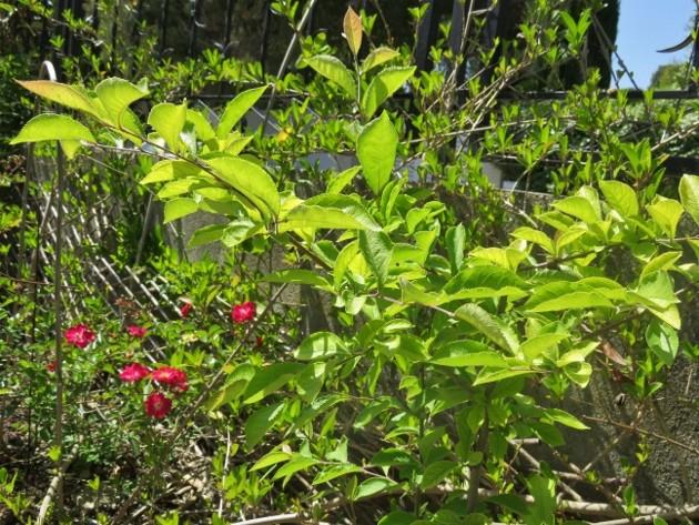 Photinia villosa ? [identification à suivre] Img_5110