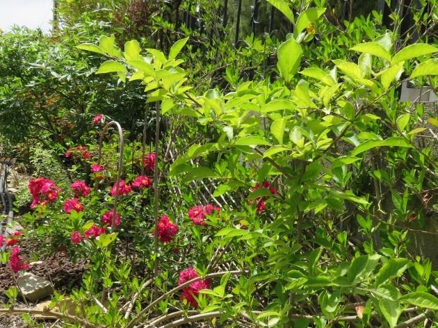 C'est le printemps dans nos jardins ! Belles associations Img_5220