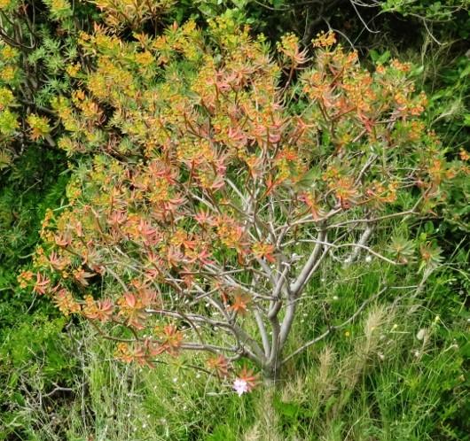 Euphorbia dendroides - euphorbe arborescente Img_5318
