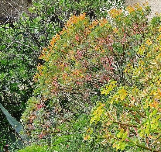 Euphorbia dendroides - euphorbe arborescente Img_5320