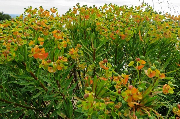 Euphorbia dendroides - euphorbe arborescente Img_5321