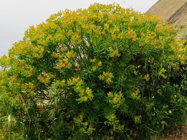Euphorbia dendroides - euphorbe arborescente Img_5322