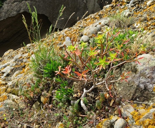 Euphorbia dendroides - euphorbe arborescente Img_5323