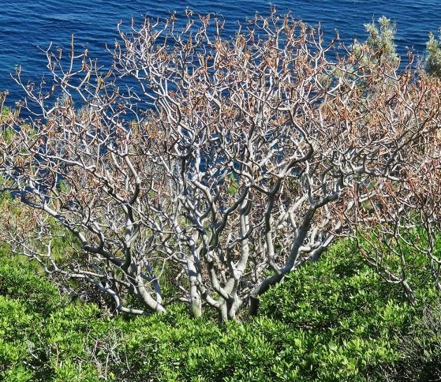 Euphorbia dendroides - euphorbe arborescente Img_5811