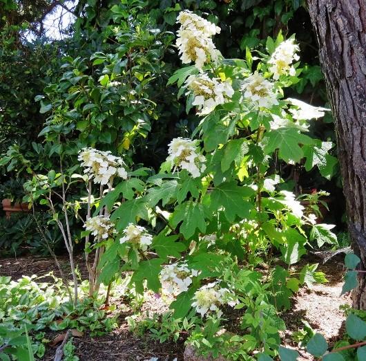 Hydrangea quercifolia Img_5813