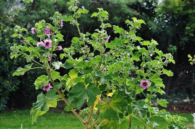 Malva arborea (= Malva dendromorpha) - mauve en arbre Jardin11