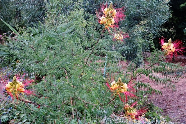 Caesalpinia gilliesii (= Poinciana gilliesii) - petit flamboyant Juille16