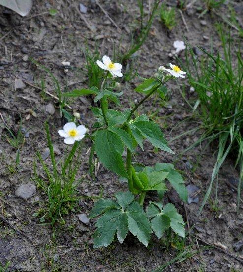Ranunculus aconitifolius - renoncule à feuilles d'aconit Juin_221