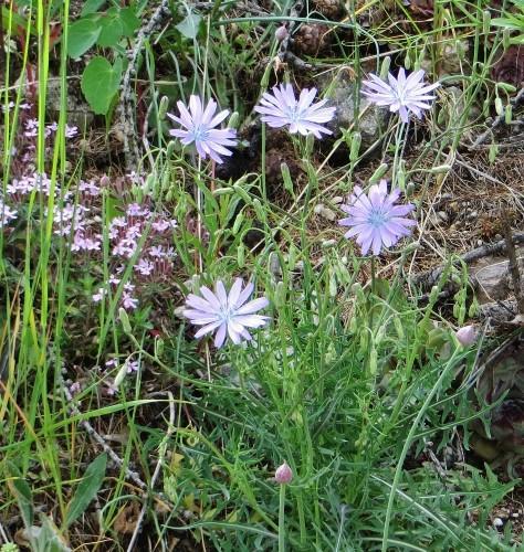 Lactuca perennis - laitue vivace Juin_226