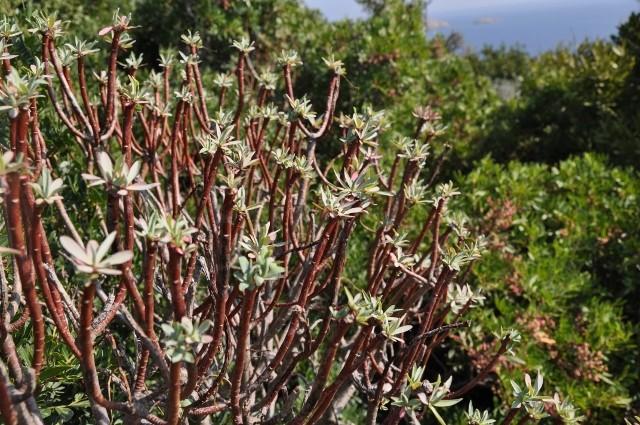 Euphorbia dendroides - euphorbe arborescente La_cro10