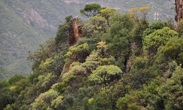 Euphorbia dendroides - euphorbe arborescente Mai_2015
