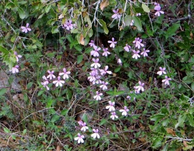 Saponaria ocymioides - saponaire de Montpellier Mai_2022
