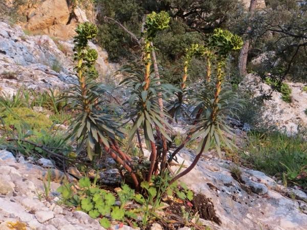 Euphorbia characias - Page 2 Mars_210