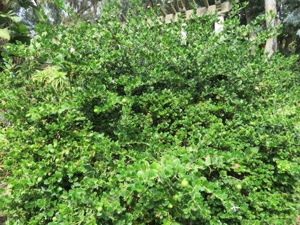 Carissa macrocarpa - prunier du Natal Octobr12