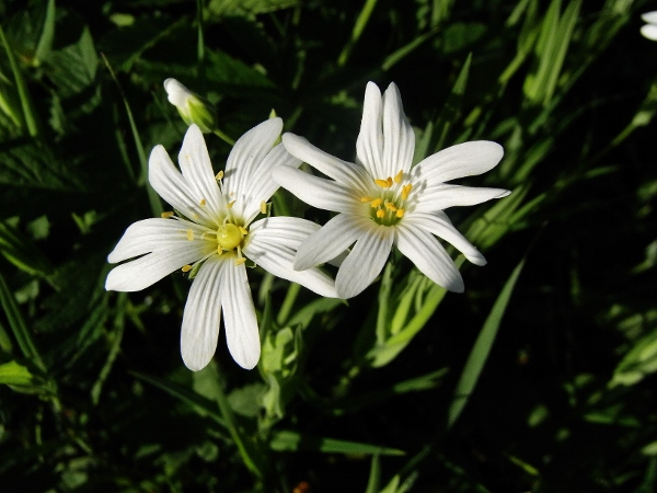 Stellaria holostea - stellaire holostée R0022810