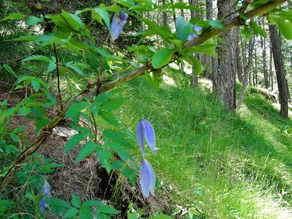 Clematis alpina et horticoles Rimg4310