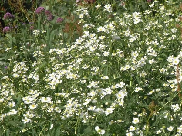 Ranunculus aconitifolius - renoncule à feuilles d'aconit Rimg5510