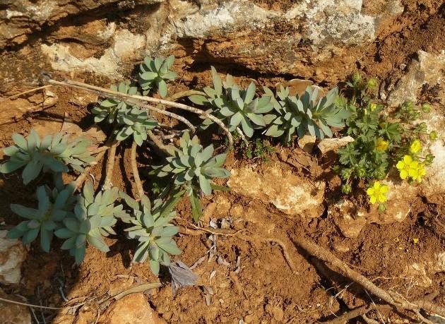 Euphorbia nicaeensis - euphorbe de Nice Siou_b10