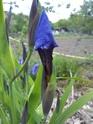 Iris setosa , votre avis pour enregistrement  Dsc00013