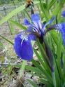 Iris setosa , votre avis pour enregistrement  Dsc00014