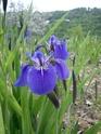 Iris setosa , votre avis pour enregistrement  Dsc00015