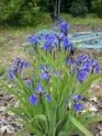 Iris setosa , votre avis pour enregistrement  Dsc00016
