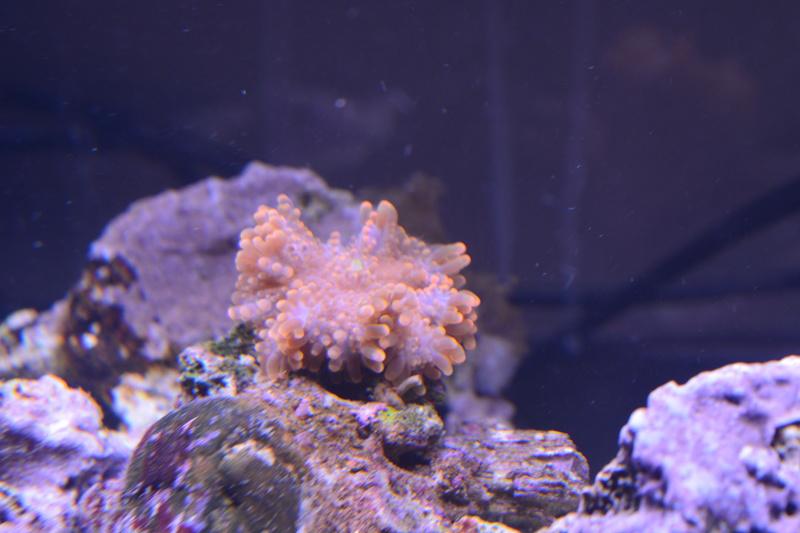 Un nom pour mes 2 coraux ? Dsc_0916