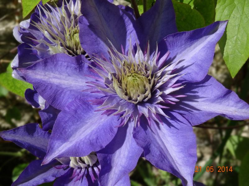 Hahnenfußgewächse (Ranunculaceae) - Winterlinge, Adonisröschen, Trollblumen, Anemonen, Clematis, uvm. - Seite 5 21_05_10