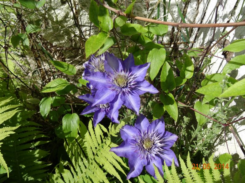 Hahnenfußgewächse (Ranunculaceae) - Winterlinge, Adonisröschen, Trollblumen, Anemonen, Clematis, uvm. - Seite 5 _21_0510