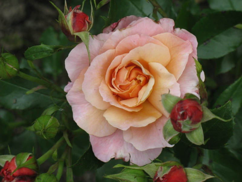 Mes roses Img_3610