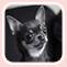 Forum Chihuahua : Mini Dog's Chihuahua Sans_t11