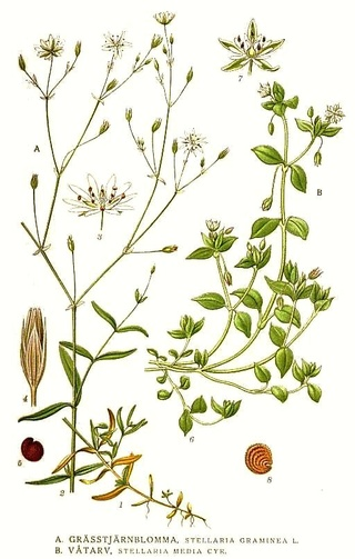 Stellaria graminea 345_st10