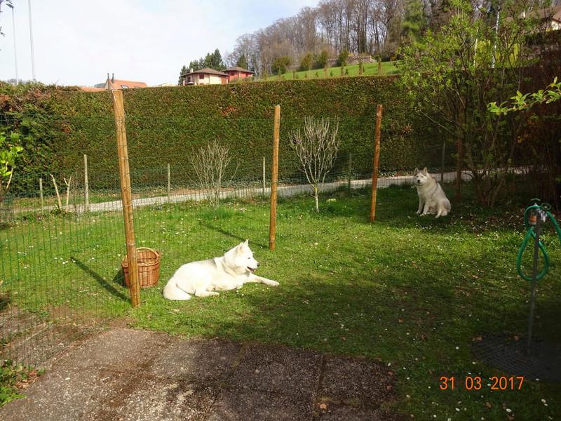 Nouveau parc clôturé pour les 3 Huskies adoptés et la chienne Patou 312