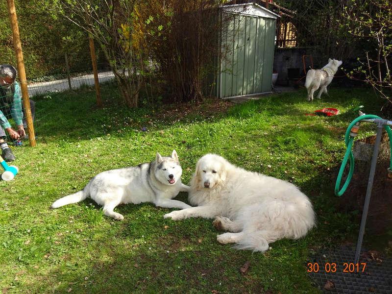 Nouveau parc clôturé pour les 3 Huskies adoptés et la chienne Patou 413