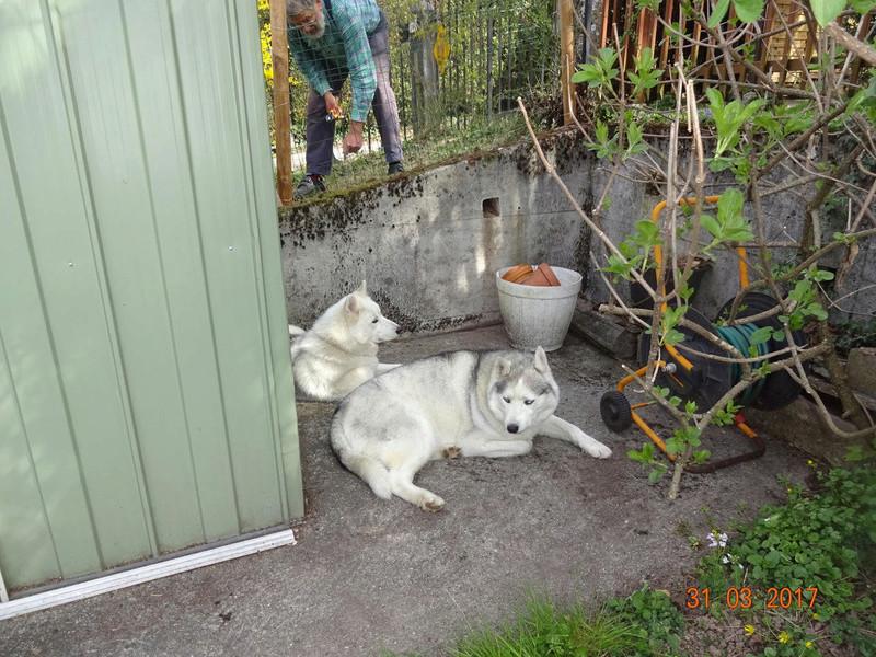 Nouveau parc clôturé pour les 3 Huskies adoptés et la chienne Patou 512