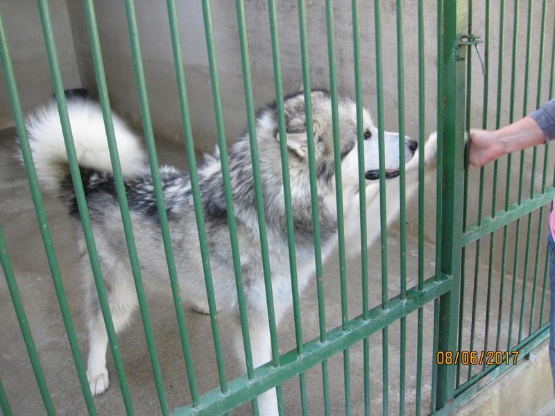 JUDE, jeune chienne Malamute, ASSO EDEN VALLEY Jude_110