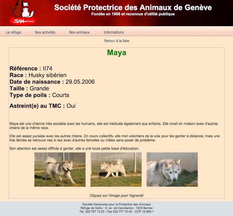 MAYA, HUSKY, gentille, pas de chats née le 29.05.2006 REFU Suisse ADOPTé Maya10