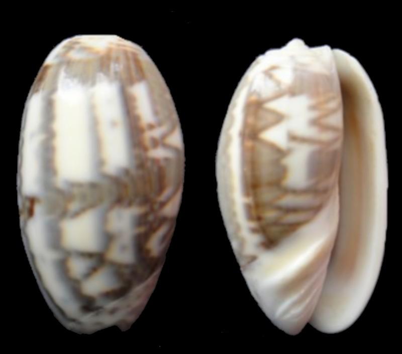 Oliva bulbosa fabagina (Carmione) Lamarck, 1811 Oliva_10