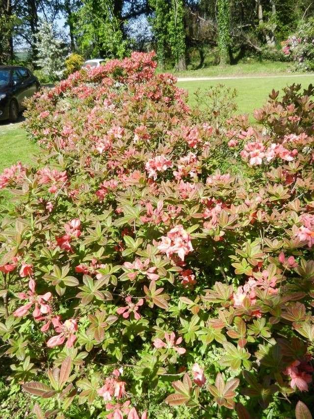 Rhododendron - espèces, variétés, floraisons - Page 2 Azalae25