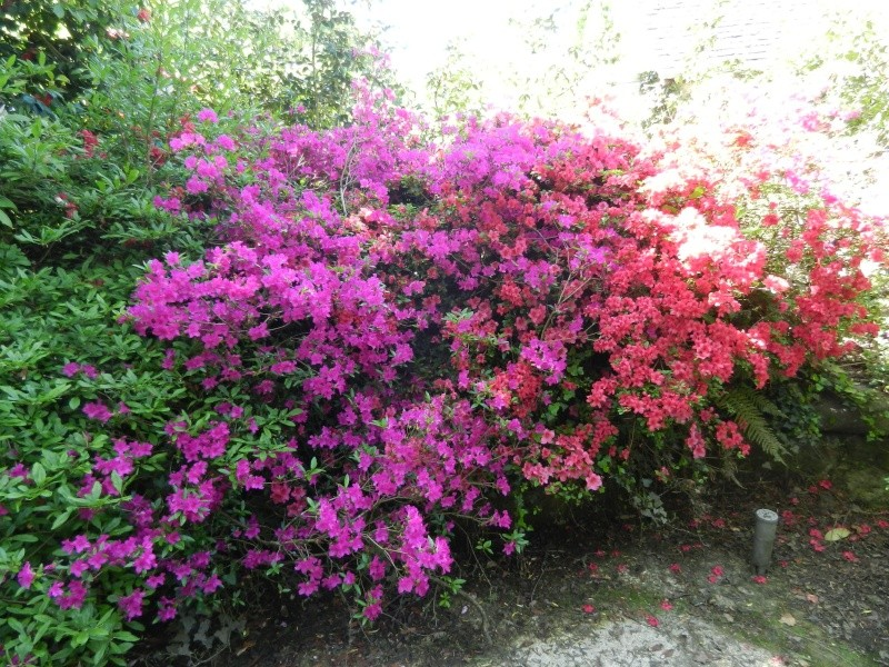 Rhododendron - espèces, variétés, floraisons - Page 2 Azalae27