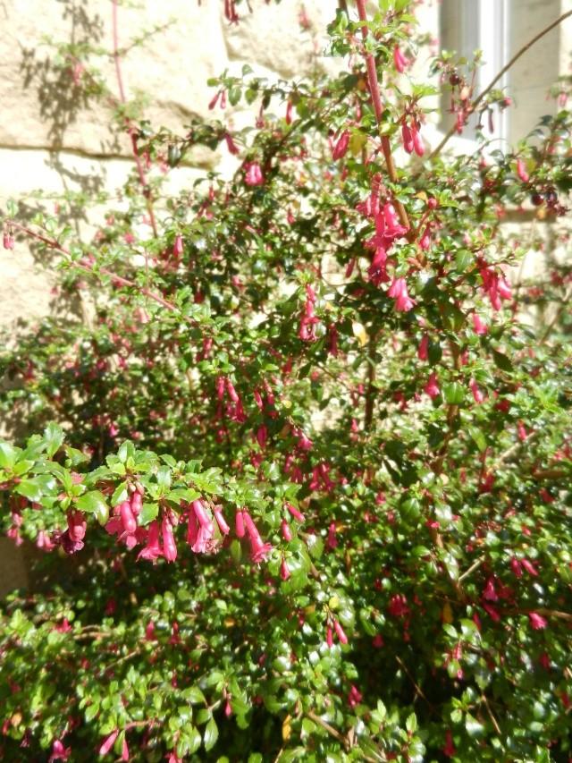 Fuchsia microphylla Fuchsi17
