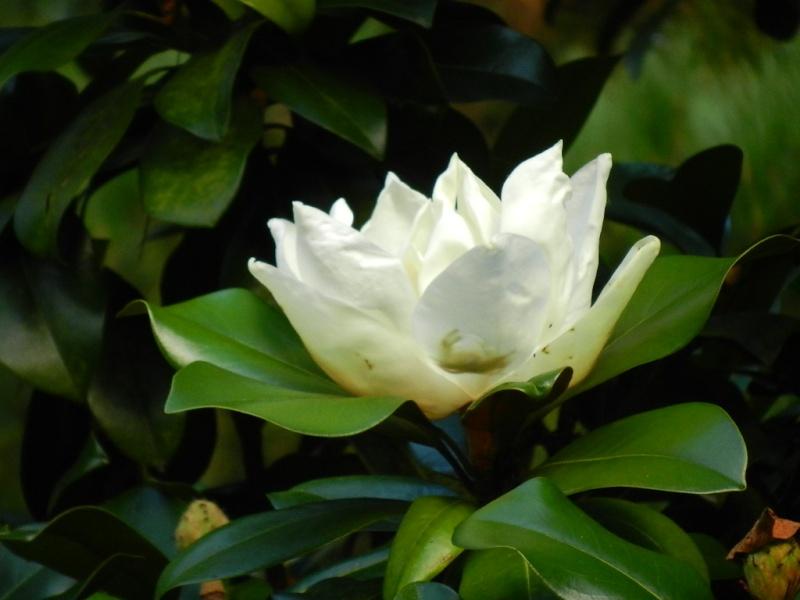 floraisons d'octobre - Page 9 Magnol10