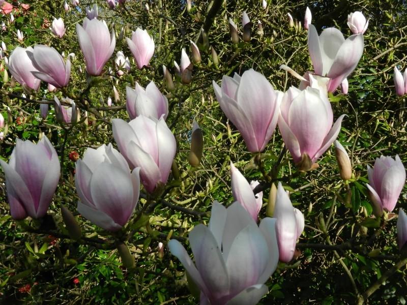 Magnolias - Page 14 Magnol12