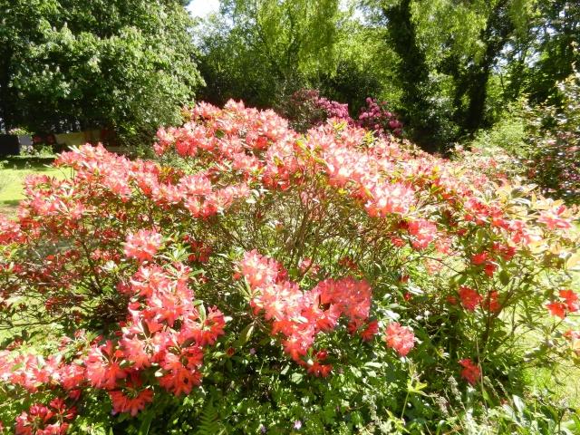 Rhododendron - espèces, variétés, floraisons - Page 2 Rhodod22