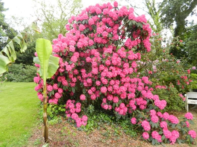 Rhododendron - espèces, variétés, floraisons - Page 2 Rhodod23