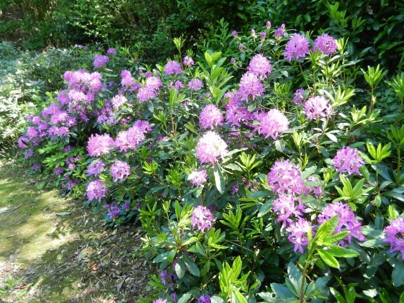 Rhododendron - espèces, variétés, floraisons - Page 2 Rhodod24
