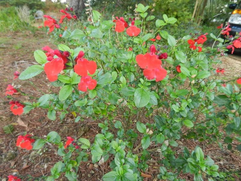 floraisons d'octobre - Page 9 Salvia11